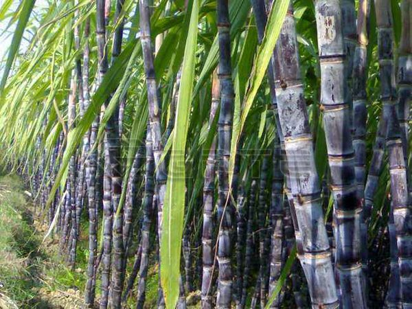 Transforming sugarcane residue into useful fertilizer granules by Granulator