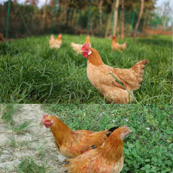 Chicken manure can be used for fertilizer granulation